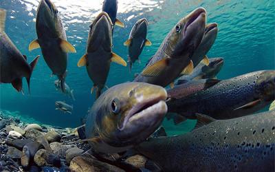 Atlantischer Lachs: Masseneinwanderung erwünscht!