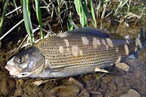 Pilzkrankheiten bei Fischen Erschreckende Zunahme in Schweizer Gewässer