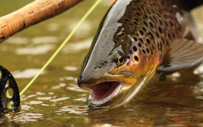 Schweizer Fisch des Jahres 2020: Die Forelle
